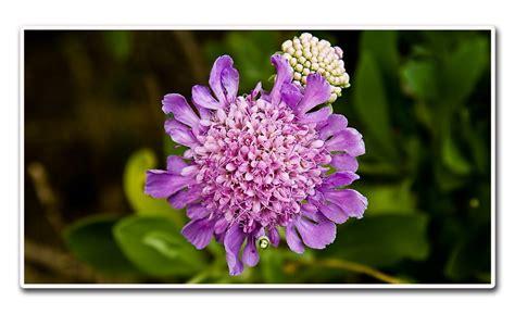 fiore lillà fiore lilla foto immagini macro e up macro fiori