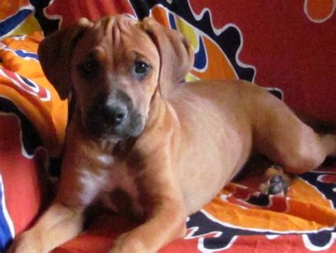 boxer rottweiler puppies dogs beautiful boxer x ridgeback rottweiler puppies strictly to approved homes only