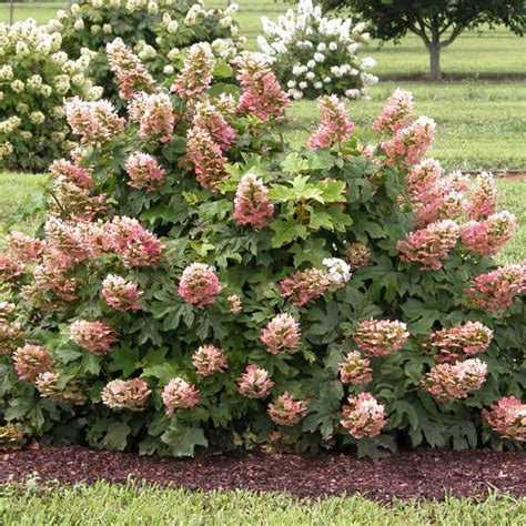 ruby slippers oakleaf hydrangea reviews hydrangea ruby slippers at wayside gardens
