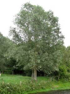 willows salices woodlands co uk