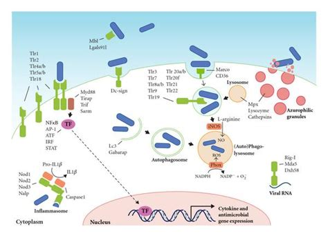 pattern recognition receptors in the immune response against dying cells pathogen recognition and activation of the innate immune