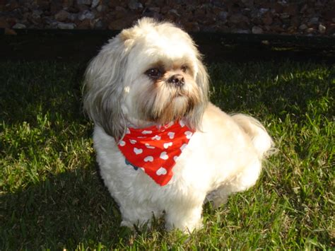 rescued shih tzu lone shih tzu and lhasa apso rescue of