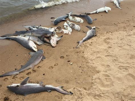 The Bull From The Sea 60 baby sharks found dead on near mobile bay