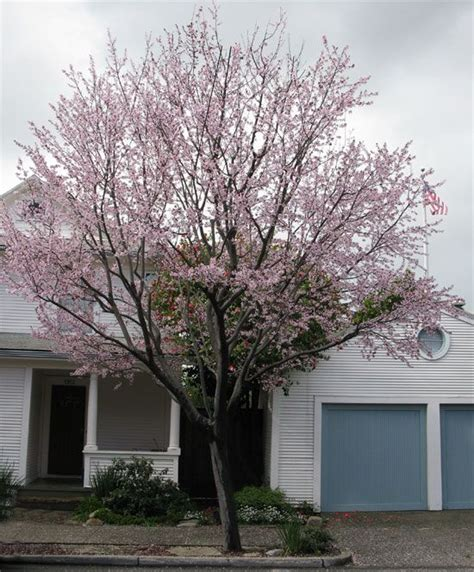 prunus sp cherry plum zone 3 accent northern boundary screen tree house at the