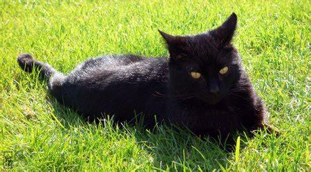 black cat chat noir sophies maze