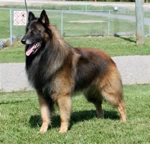 belgian shepherd dog malinois for sale belgian tervuren k9 fine amp co pinterest