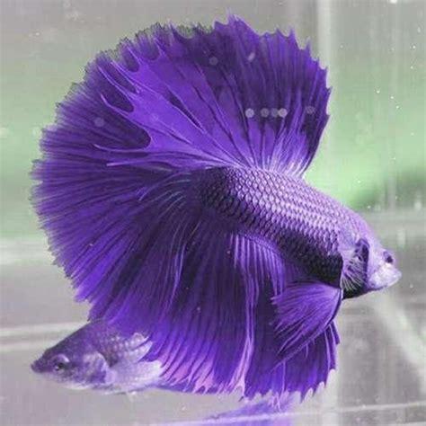 Pakan Ikan Cupang Ternak budidaya dan ternak cara pemijahan ikan cupang hias dan