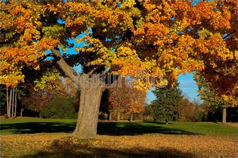 maple tree in early plants maple tree in fall colors stock photo i2703091 at featurepics