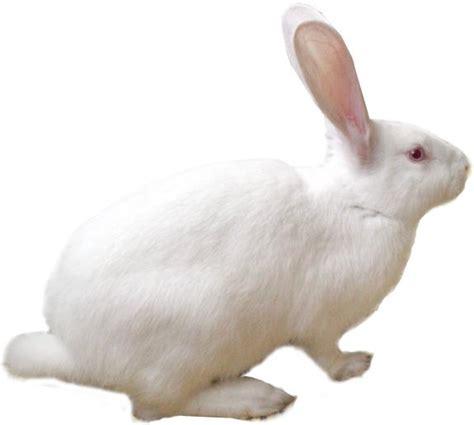 image gallery lapin blanc
