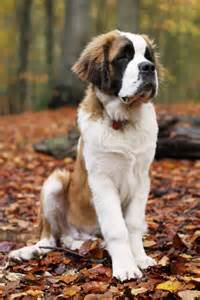 St Bernards 11 Of The Most Loyal Breeds One Can