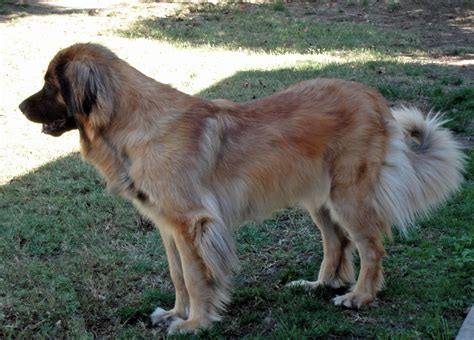 leonberger golden retriever mix leos in shelters