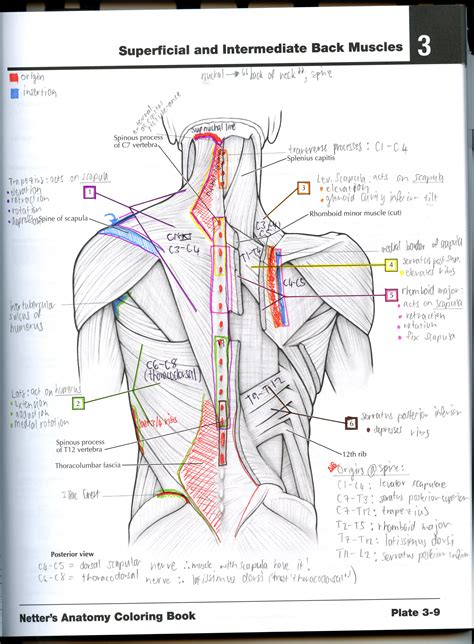 anatomy coloring book pdf netter learn by colouring science anatomy coloring book muscles