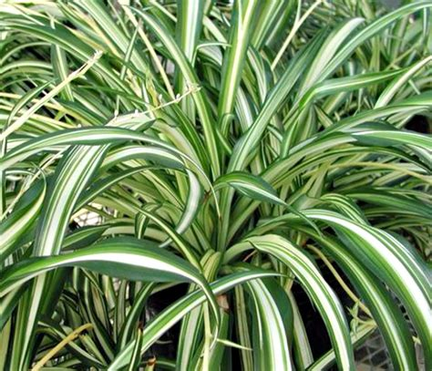 spider plant a breath of fresh air houseplants fairview garden center