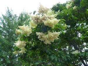 lilac tree albion trees 187 japanese tree lilac