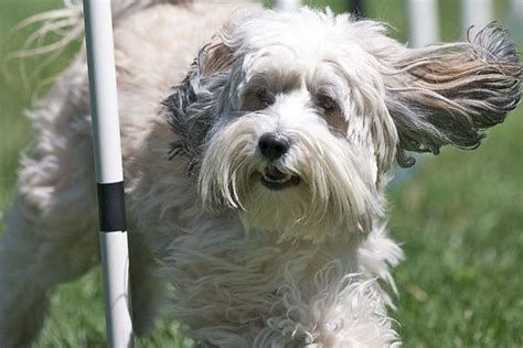 tibetan terrier sheds and hypoallergenic breed on