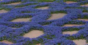 How To Landscape My Backyard Veronica Liwanensis My Garden Flowers Pinterest
