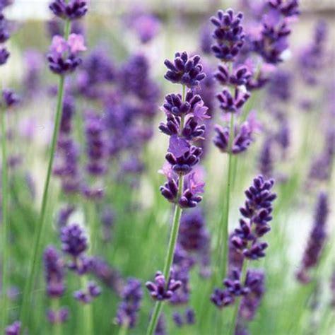 Bibit Bunga Lavender lavender vera true lavandula bungahias net