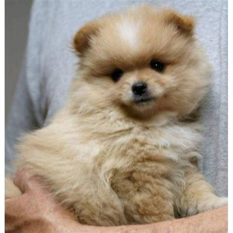 baby pomeranian for sale pomeranian puppies for sale scotland zoe fans baby animals