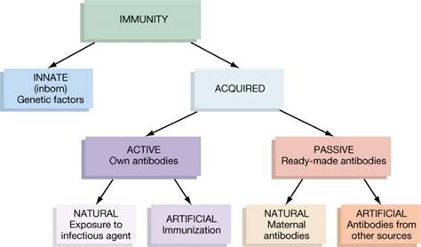 Different Types Of Immunity Diagram human physiology