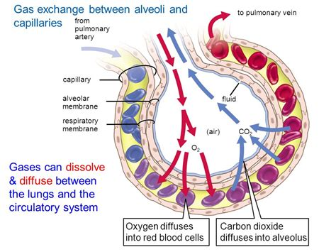 pressure in alveoli gas exchange bing images unifying concepts of animal respiration ppt download