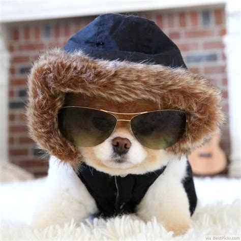 puppies dressed up the cutest in the world 37 best pomeranian breed pictures of boo bestpickr