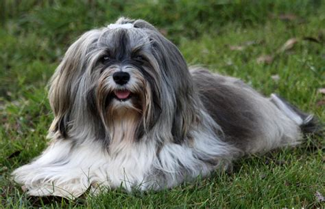 havanese names the havanese national of cuba breed photo information dogs y2u co uk