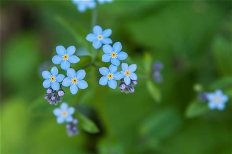 blue flowers picture tiny flowers in bloom light colored tiny blue flowers mak kawa galleries digital