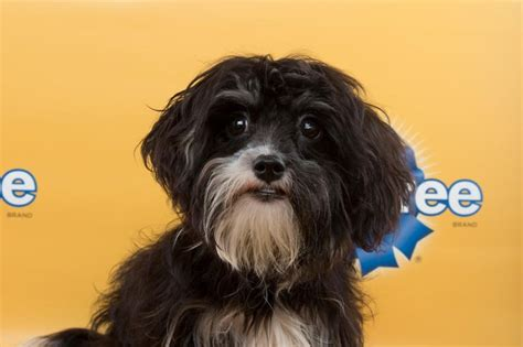 havanese and chihuahua mix the 29 cutest puppies from this year s puppy bowl bdcwire