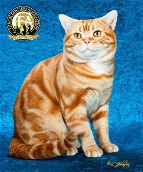 Breed Profile: The American Shorthair