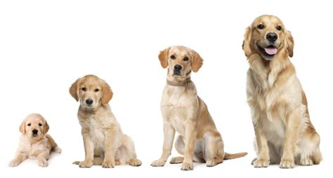 golden retriever age large scale cancer study of golden retrievers holds for all dogs the bark