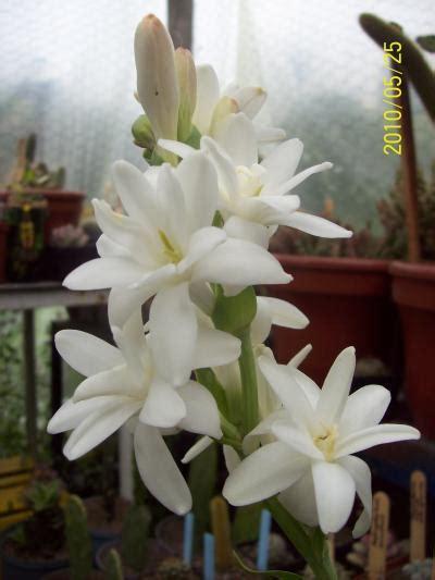 fiore di nardo jardiner 237 a fotos de plantas flores y jardines desde