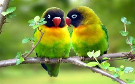 free download images of love birds amazing wallpapers love bird hd wallpaper for mac 11767 amazing wallpaperz