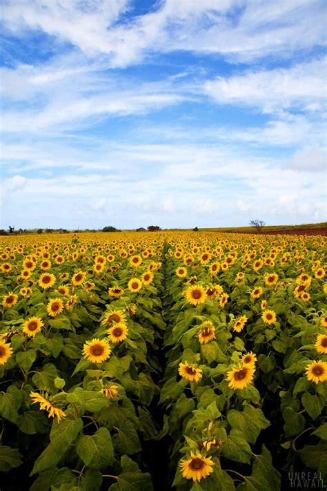 sunflower farm oahu sunflower fields drivers passing by a stretch of