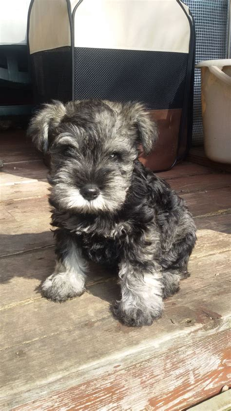salt and pepper schnauzer puppies for sale salt and pepper miniature schnauzer puppy sheffield south pets4homes