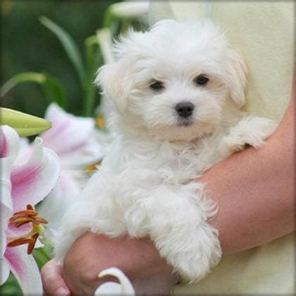 maltese puppies for sale in ta maltese sale ireland maltese puppies buy buy maltese breeders maltese dogs breed