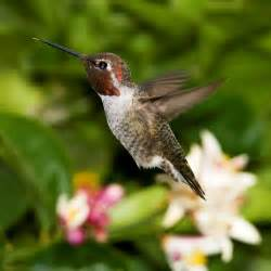 file anna s hummingbird male flying jpg wikipedia