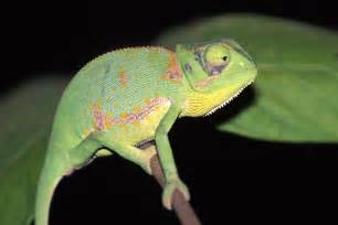do geckos change color how does a chameleon change its color world of