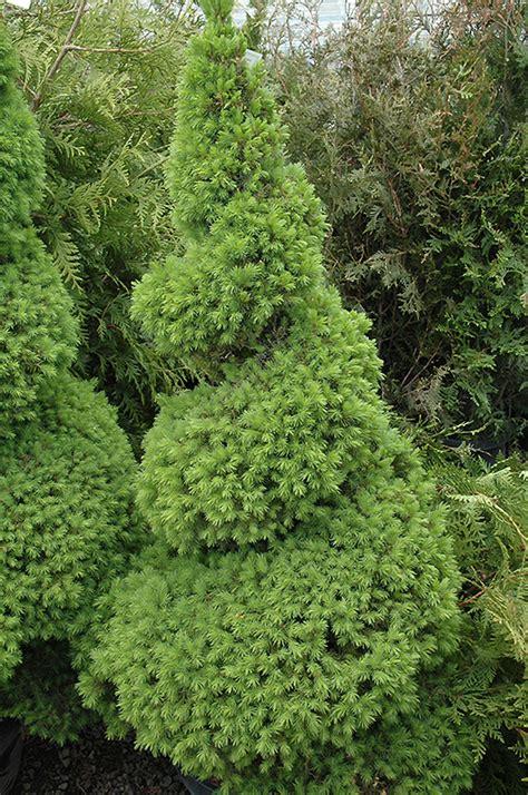 dwarf alberta spruce picea glauca conica spiral