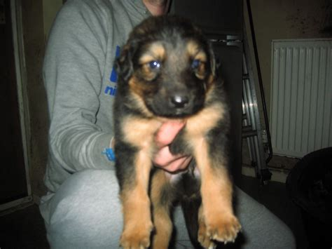 rottweiler and german shepherd mix puppies sheperd x puppies 150 posted 1 year ago for sale dogs mixed breed quotes