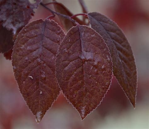 purple leaf trees identification ufei selectree a tree selection guide