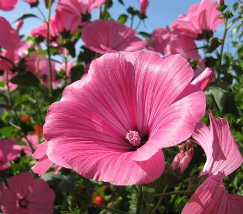 Teh Bunga Baby Chrysant tree mallow pink and white lavatera trimestris 100 seeds
