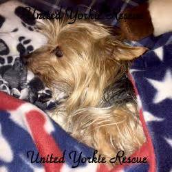 yorkie rescue wisconsin terrier rescue fife dogs in our photo