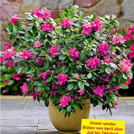 Rhododendron Vermehren by Rhododendron Durch Ableger Vermehren Ableger Stecklinge