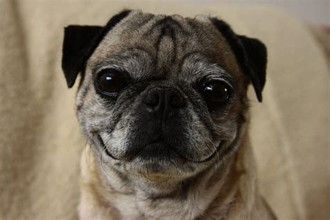 seizures in pugs brain disease in dogs causes of seizure disorders in dogs