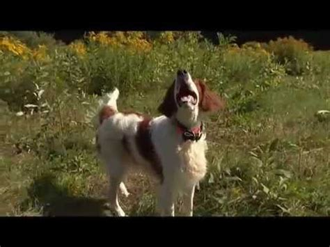 setter dogs 101 dog breeds irish setter dogs 101 animal planet youtube