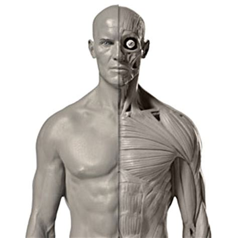 zbrush tutorial human body pixologic zbrush blog 187 mastering human anatomy in zbrush