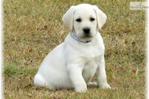 yellow lab puppies for sale in ma golden retriever labrador mix puppies for sale florida breeds picture