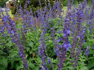 salvia flower plant guide salvia farinacea x longispicata mealy cup