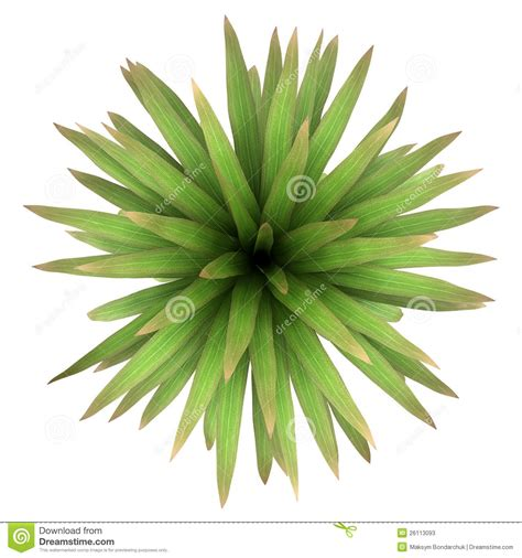 top view of mountain cabbage palm tree isolated stock