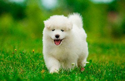 samoyed puppies for sale colorado samoyed puppies for sale te hakkında 25 den fazla en iyi fikir